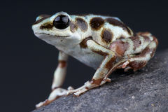Silver Dart Frog / Oophaga pumilio Royalty Free Stock Images