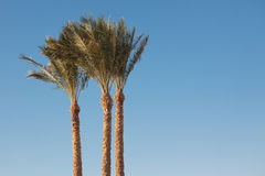 Silver Date Palm Royalty Free Stock Image