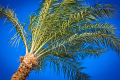 Silver Date Palm Royalty Free Stock Photo