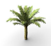 Silver date palm isolated on white Stock Image