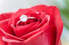Silver Diamond Embed Ring on Red Rose stock photos