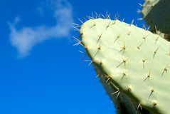 Silver Dollar Cactus Stock Photography