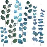 Silver dollar eucalyptus leaves vector illustration