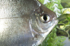 Silver dollar fish. Royalty Free Stock Photography