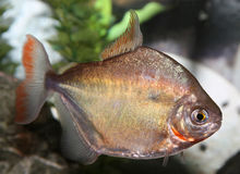 Silver dollar fish. Silver Dollar fish swimming in aquaria. (Metynnis argenteus Royalty Free Stock Images
