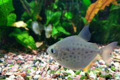 Spotted Silver Dollar Fish Royalty Free Stock Photography