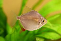 Silver dollar genus metynnis schooling aquarium fish stock photo