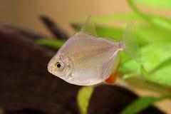 Silver dollar genus metynnis schooling aquarium fish stock images