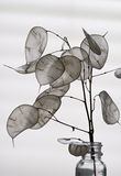 Silver Dollar Silhouette. Backlit Eucalyptus Silver Dollar plant; also, known as Moonwort, Honesty Plant, and Money plant Stock Images