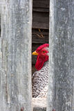 Silver Dorking Rooster Royalty Free Stock Photo