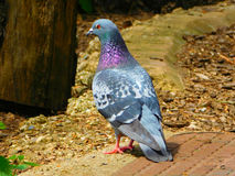 Silver Dove royalty free stock photos