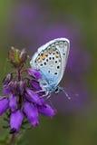 Silver-dubbad blå fjäril, plebejus argus Royaltyfri Fotografi