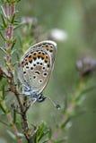 Silver-dubbad blå fjäril, plebejus argus Royaltyfri Bild