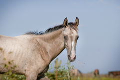 Silver dun akhal-teke foal Royalty Free Stock Photos