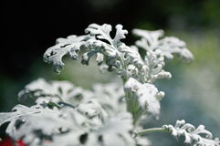 Silver dust or senecio Royalty Free Stock Photography