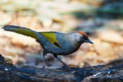 Silver-eared Laughingthrush ,Birds. Royalty Free Stock Photos