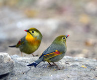 Silver-eared Leiothrix Royalty Free Stock Images