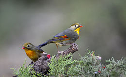 Silver-eared Leiothrix Royalty Free Stock Photography