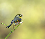 Silver-eared Leiothrix Royalty Free Stock Image