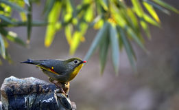 Silver-eared Leiothrix Stock Photo