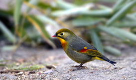 Silver-eared Leiothrix Stock Photography