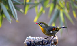 Silver-eared Leiothrix Stock Images