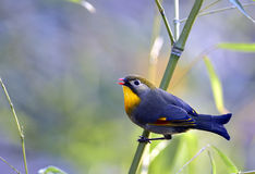 Silver-eared Leiothrix Royalty Free Stock Photos