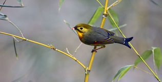 Silver-eared Leiothrix Royalty Free Stock Photo