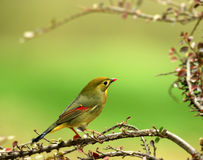 Silver-eared Leiothrix Stock Photos