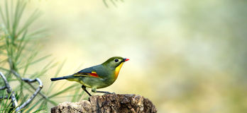 Silver-eared Leiothrix Stock Image