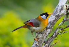 Silver-eared Mesia. With bright green background Royalty Free Stock Image