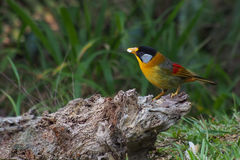 Silver-eared Mesia. The beautiful silver-eared mesia at Fraser's Hill in Malyasia Stock Image