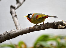 Silver-eared Mesia Royalty Free Stock Photo