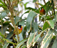 Silver-eared Mesia Royalty Free Stock Photography