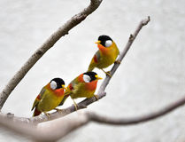 Silver-eared Mesia Royalty Free Stock Photos
