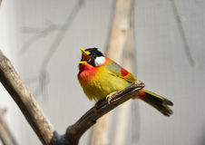 Silver-eared Mesia Stock Photo