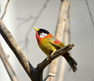 Silver-eared Mesia Royalty Free Stock Image
