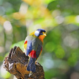 Silver-eared Mesia Royalty Free Stock Images