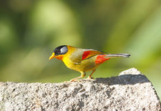 Silver-eared Mesia Leiothrix argentauris Royalty Free Stock Photos