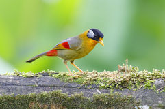 Silver-eared Mesia Leiothrix argentauris Stock Images