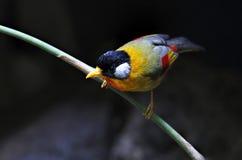 Silver-eared Mesia Leiothrix argentauris Royalty Free Stock Image