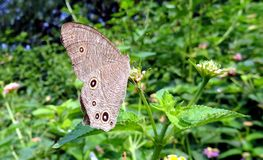 Silver eye spotted butterfly Stock Photography