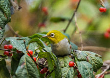 Free Silver Eyes Bird Stock Photography - 46465632