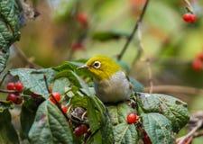 Silver eyes bird Stock Photography