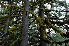Tree limbs covered in moss. Silver Falls State Park, Oregon, USA Stock Photo