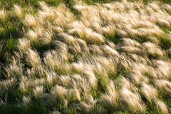 Silver feather grass swaying in wind in steppe Royalty Free Stock Photos