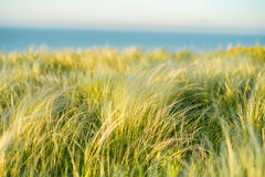 Silver feather grass swaying in wind in steppe Royalty Free Stock Photography
