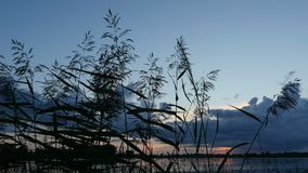 Silver feather grass swaying in wind after sunset on the lake stock footage