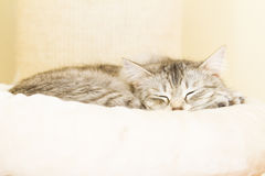 Silver female cat, siberian Royalty Free Stock Photography