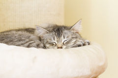 Silver female cat, siberian Royalty Free Stock Images